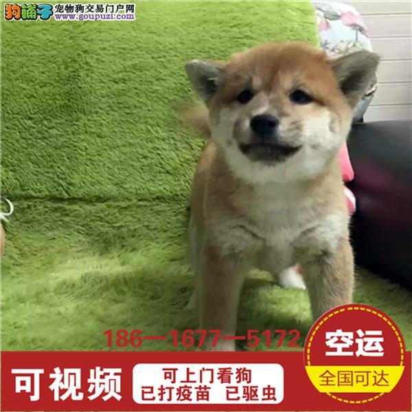 品质有保障信誉售后服务狗场直销纯种柴犬2