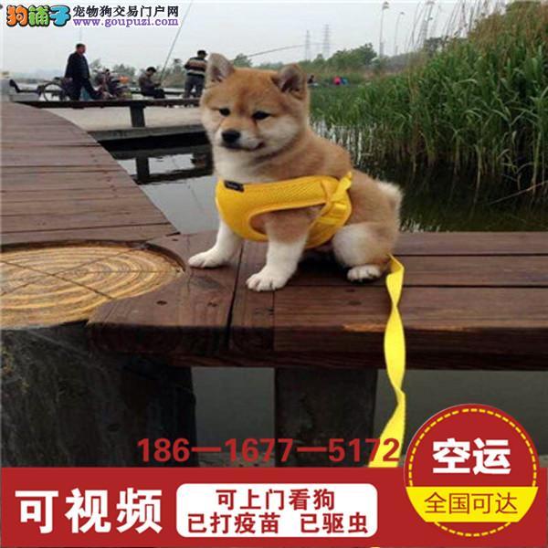 品质有保障信誉售后服务狗场直销纯种柴犬1