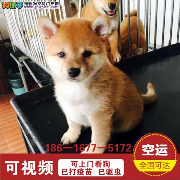 品质有保障信誉售后服务狗场直销纯种柴犬4