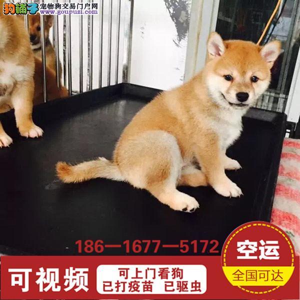 品质有保障信誉售后服务狗场直销纯种柴犬3