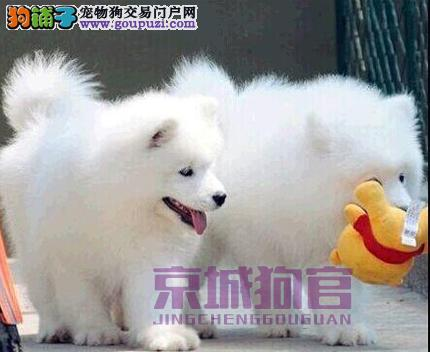 北京人老板 厚德载物 ,顶级萨摩天使狗