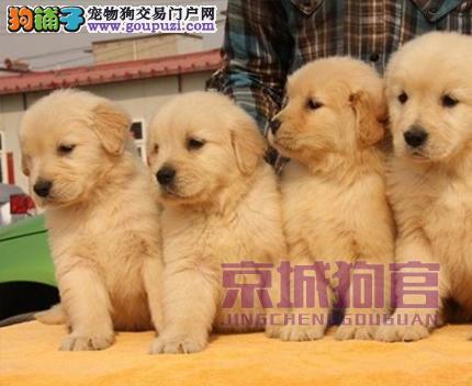 北京人老板卖的狗不好您砸我玻璃 金毛