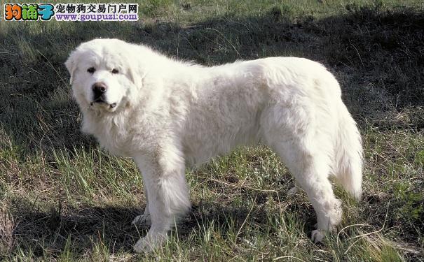 大白熊犬好不好训练 大白熊智商怎么样