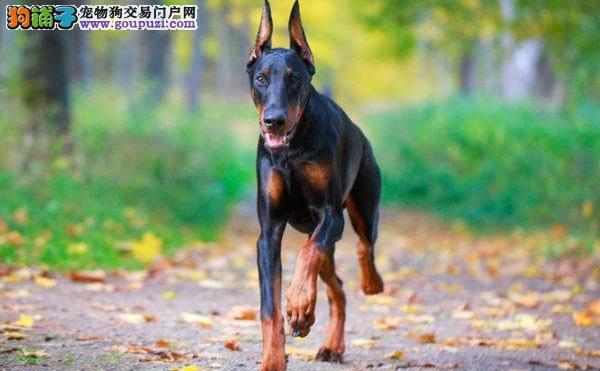 威武帅气的警卫犬杜宾犬聪明不聪明5