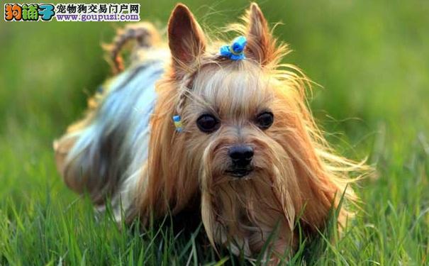 聪明伶俐的长毛小型犬约克夏