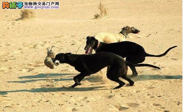 如何选购格力犬挑选灵缇犬的注意事项