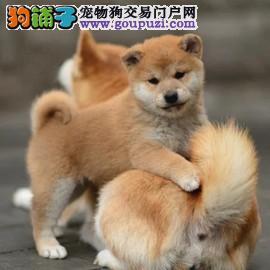 忠诚可靠的日系柴犬幼犬聪明可爱