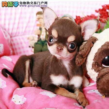 纯种吉娃娃宝宝数只,大眼睛