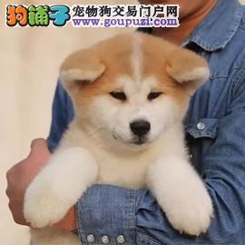 纯种秋田犬 带秋保证书 日系秋田犬