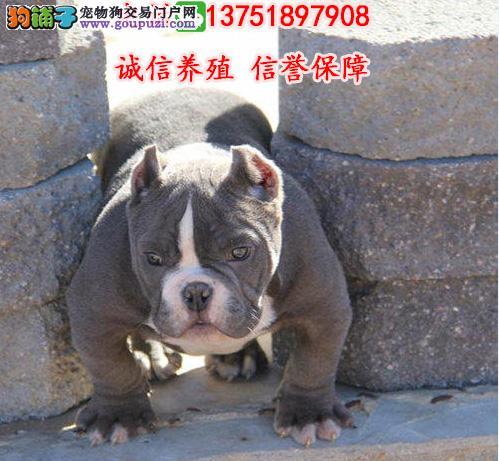 深圳哪里有卖恶霸犬 深圳恶霸犬多少钱一只