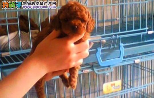 云南普洱泰迪犬常年出售纯种泰迪犬体型小聪明不掉毛
