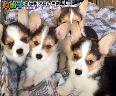 云南普洱柯基犬出售狗场柯基犬常年出售