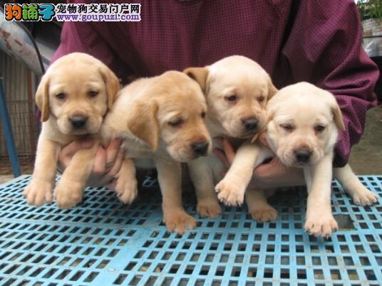 楚雄卖拉布拉多幼犬楚雄拉布拉多什么价格