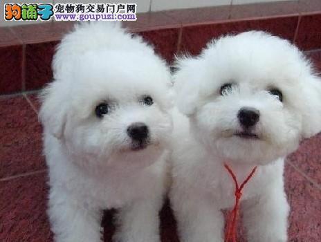 德宏本地养狗场常年出售比熊犬