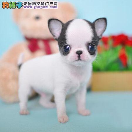 吉娃娃 小型犬吉娃娃最小的狗