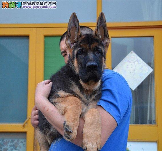养殖场出售纯种德国牧羊犬