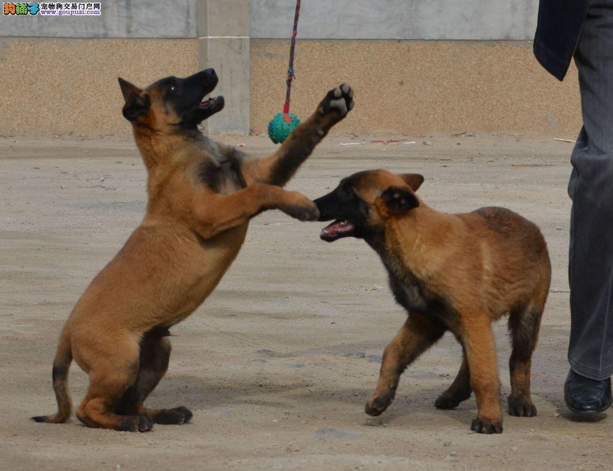 养殖基地常年出售马犬 纯种马犬
