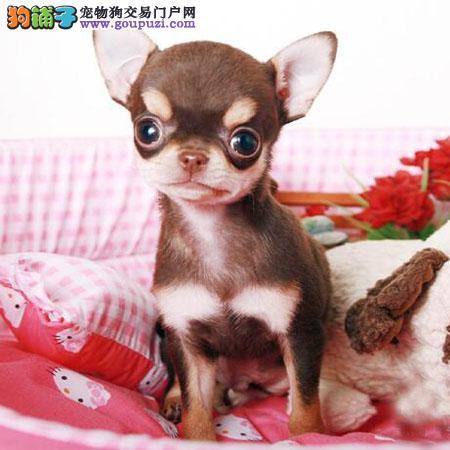 超小体纯血墨西哥吉娃娃 精品吉娃娃犬