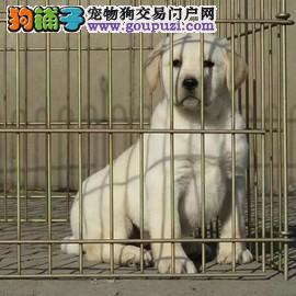 拉布拉多幼犬忠实 神犬小七同款拉拉