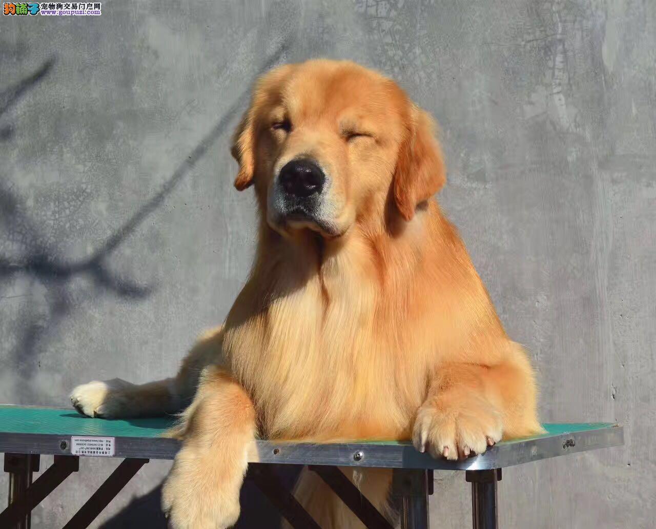 聪明温顺热情的导盲犬金毛幼犬