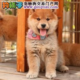 包健康包纯种包养活 高端品质柴犬