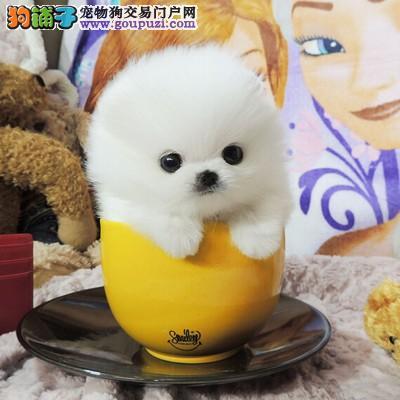 小型犬 博美 白色博美 黄色博美