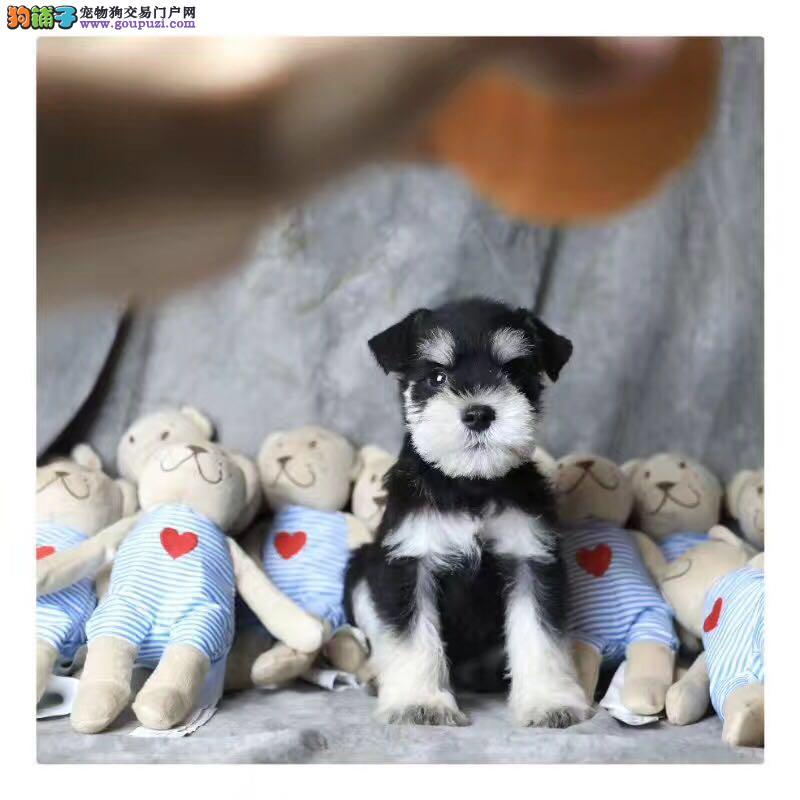 犬舍出售纯种健康的雪纳瑞幼犬
