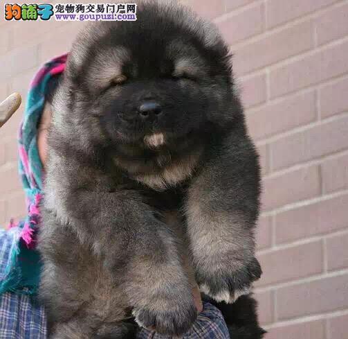 高加索 纯种健康的高加索幼犬