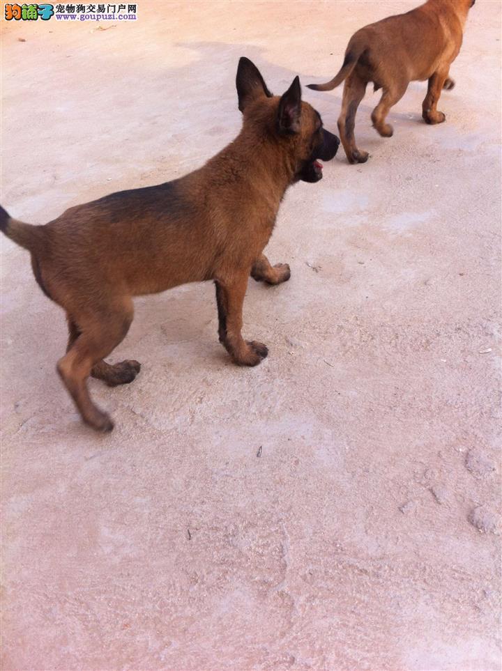 纯种马犬多少钱一条?血统马犬价格 马犬养殖基地
