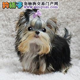 袖珍犬 小型犬约克夏 公主犬约克夏纯种健康