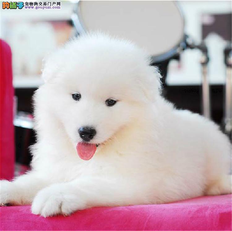康青名犬出售宠物狗纯种萨摩耶犬多少钱萨摩耶多少钱