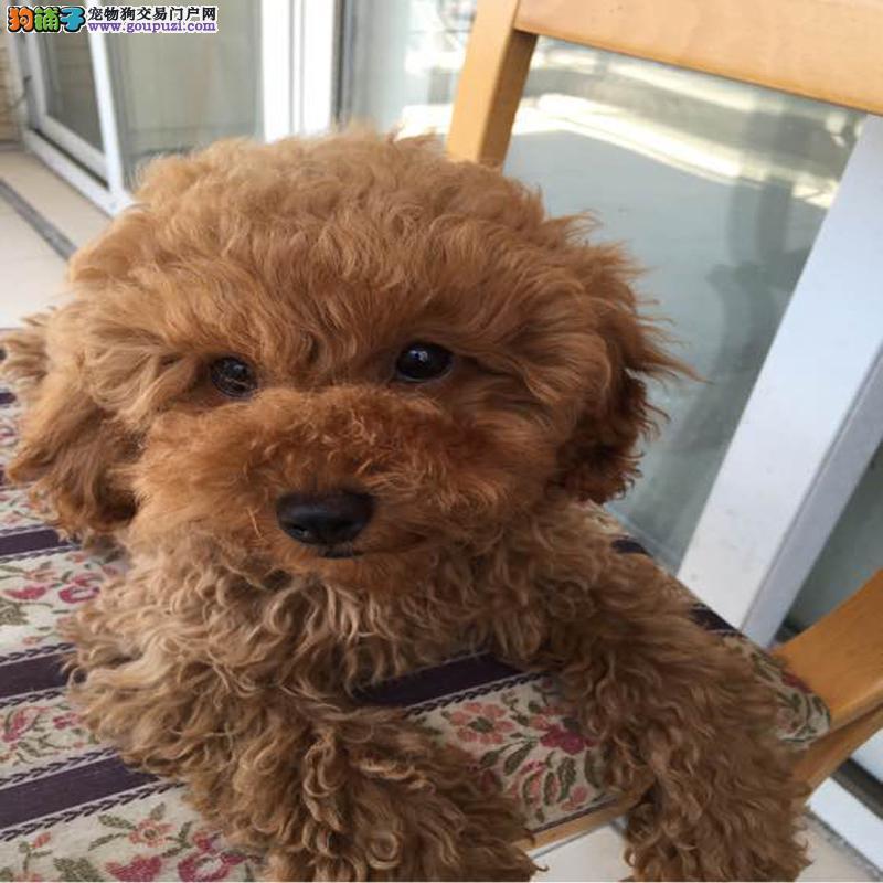 康青名犬出售宠物狗纯种泰迪犬多少钱泰迪多少钱