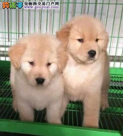 康青名犬出售宠物狗纯种金毛犬多少钱金毛多少钱