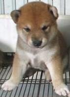 康青名犬出售宠物狗纯种柴犬多少钱日本柴犬多少钱