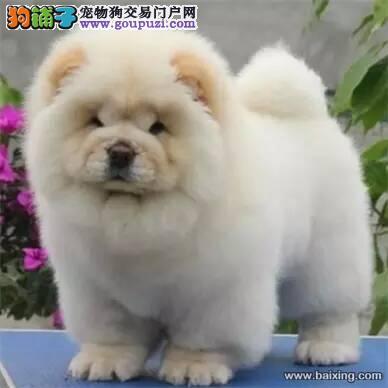 康青名犬出售宠物狗纯种松狮犬多少钱松狮多少钱