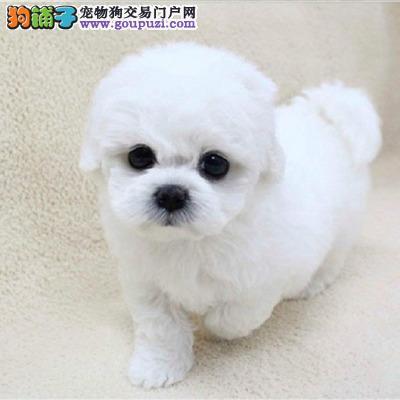 康青名犬出售宠物狗纯种松狮比熊犬多少钱比熊多少钱