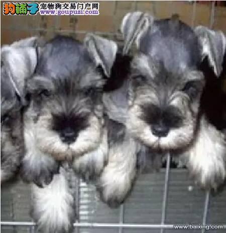 康青名犬出售宠物狗纯种雪纳瑞犬多少钱雪纳瑞多少钱