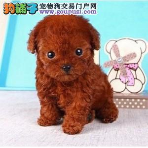 康青名犬出售宠物狗纯种茶杯泰迪犬多少钱泰迪多少钱