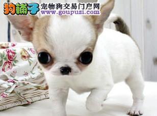 康青名犬出售宠物狗纯种吉娃娃犬多少钱吉娃娃多少钱