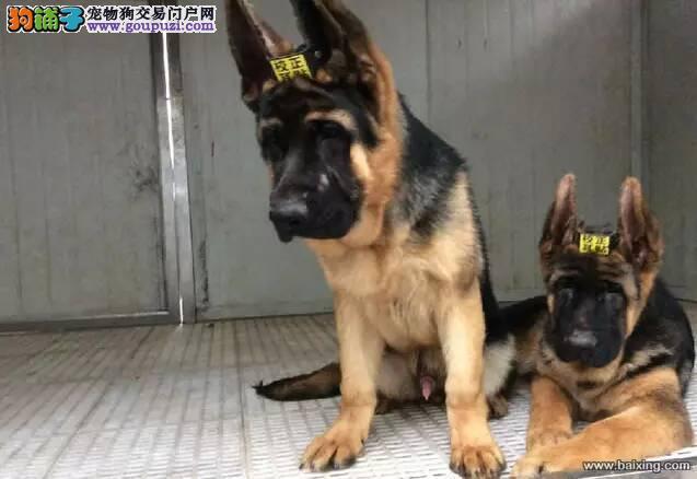 出售宠物狗北京名犬德国牧羊犬保健康签协议可送货上门