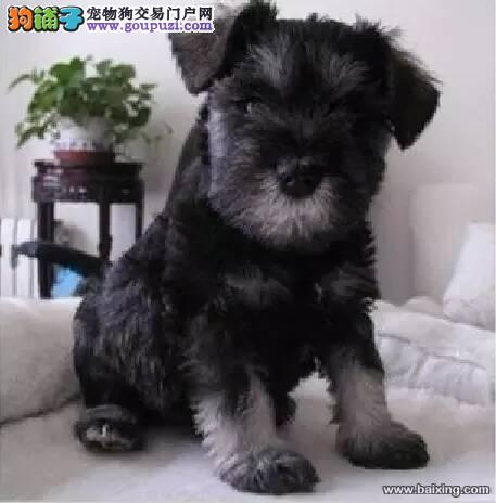 出售宠物狗北京名犬雪纳瑞犬保健康签协议可送货上门