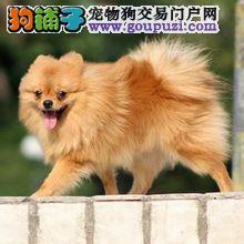 出售宠物狗北京名犬博美犬保健康签协议可送货上门