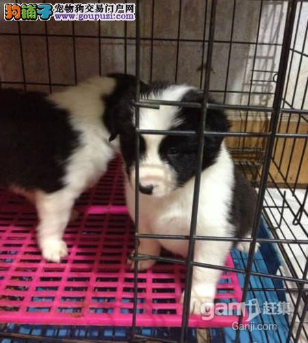 出售宠物狗北京名犬边境牧羊犬保健康签协议可送货上门