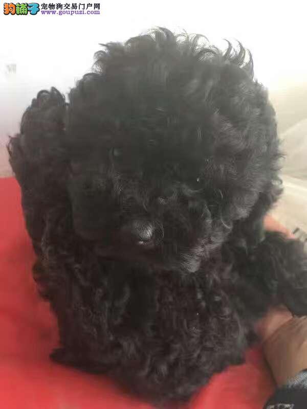 出售宠物狗北京名犬纯种泰迪犬保健康签协议可送货上门
