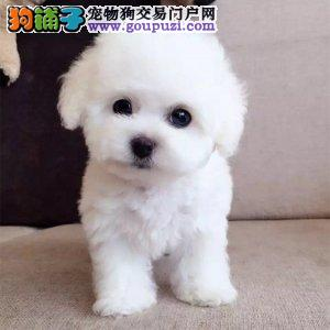 出售宠物狗北京名犬比熊犬保健康签协议可送货上门