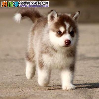 出售宠物狗北京名犬哈士奇犬保健康签协议可送货上门