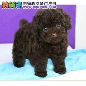 出售宠物狗北京名犬贵宾泰迪犬保健康签协议可送货上门