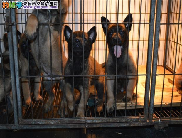 广州卖马犬的地方 广州买纯种马犬一只多少钱?