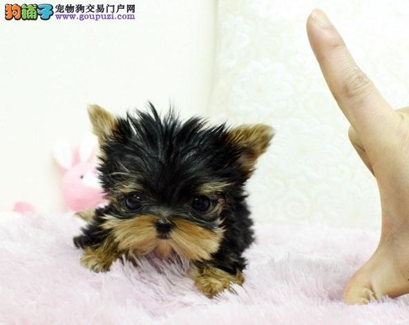 广州卖约克夏的地方 广州买纯种约克夏一只多少钱?