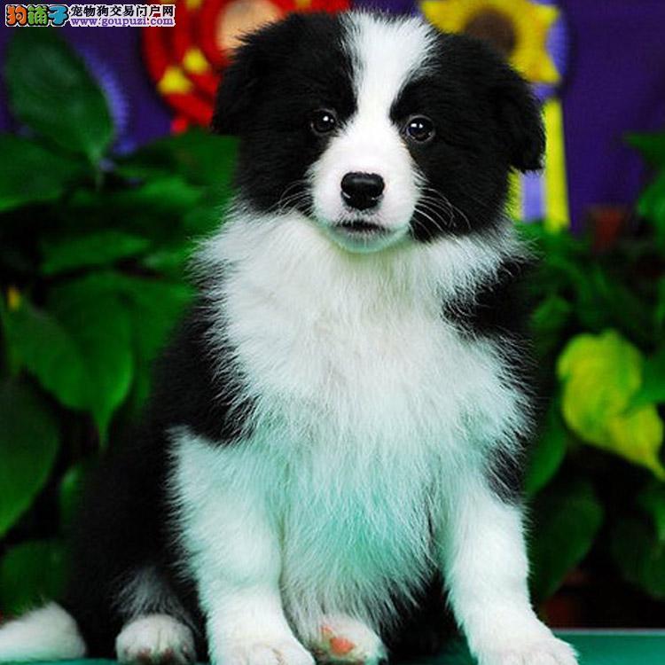 广州卖边境牧羊犬的地方 广州买纯种边境牧羊犬多少钱